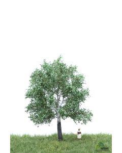 Løvtrær, , MBR51-2205
