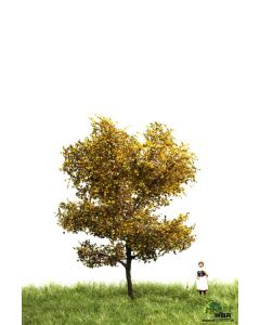 Løvtrær, , MBR52-2106