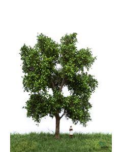 Løvtrær, , MBR51-2311