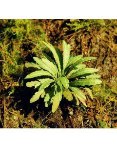 Blomster og planter, Asiatiske Bregner, 1:32 - 35, MDSVG3-035