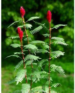 Blomster og planter, Sumak, 1:32 - 35, MDSVG3-018